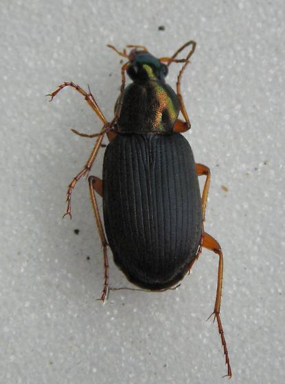 Chlaenius tricolor  - Chlaenius tricolor - female