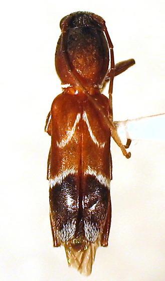 Clytoleptus albofasciatus