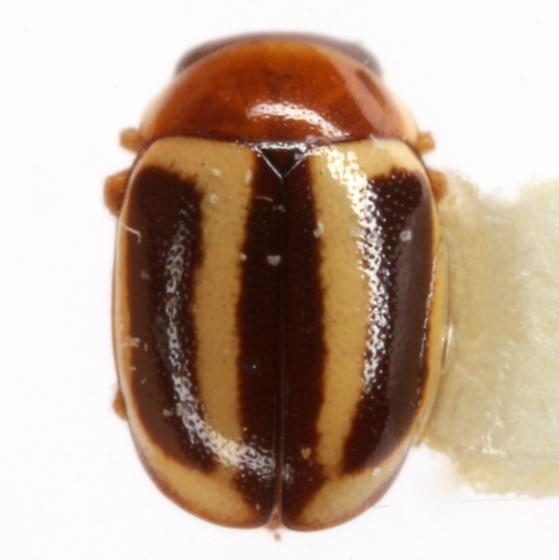 Hyperaspidius