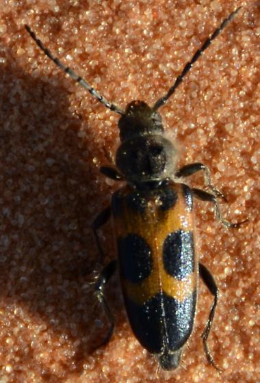 Unknown Beetle - Semanotus ligneus
