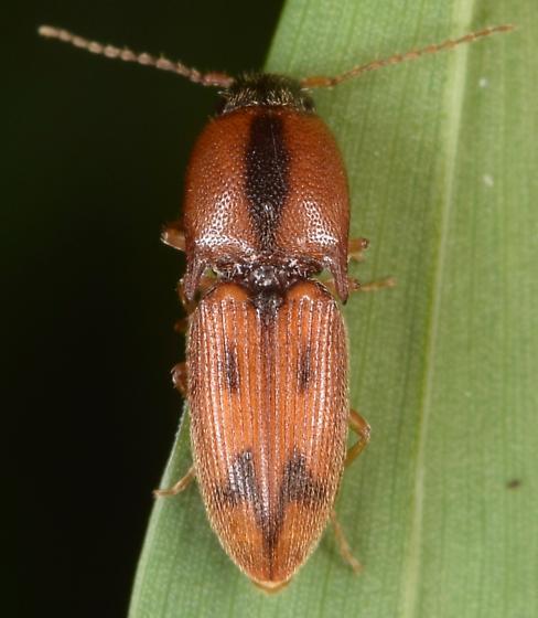 Click beetle - Aeolus