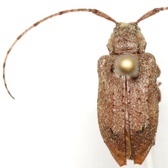 Astylopsis arcuata (LeConte) - Astylopsis arcuata