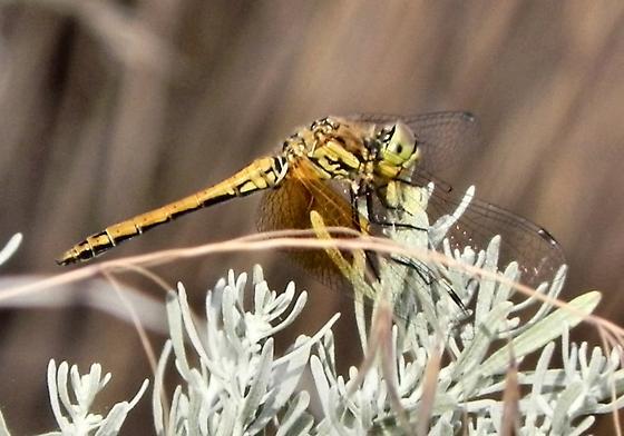 Bug - Sympetrum semicinctum
