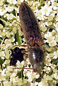 Click Beetle - Gambrinus