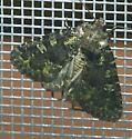 Noctuidae - Paramiana