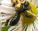 Phymata, Ceratina and free loader flies - Neophyllomyza