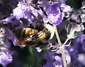 pollinator  6 - Bombus appositus