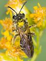 Small Andrena Bee on Goldenrod - Andrena nubecula - female