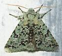 Sallow moth #2 - Feralia major