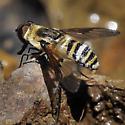 Bee Fly sp - Villa