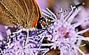 Hairstreak Butterfly - Calycopis cecrops