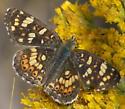 Dark crescent or checkerspot - Phyciodes pulchella - male
