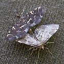 Amorous Pair - Anageshna primordialis - male - female