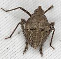 Hemiptera IMG_6677 - Orgerius