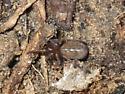 shiny spider - Cicurina