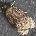 Olethreutinae  unknown - Olethreutes concinnana