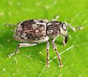 weevil - Acoptus suturalis
