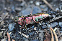 Bupestris sp. - Buprestis intricata