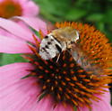 Bee Fly,  Heterostylum ? - Heterostylum