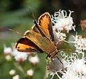 skipper, Hylephila phyleus ? - Hylephila phyleus - male