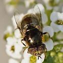 Fly - Eristalinus aeneus - male