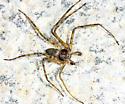 running crab spider? - Philodromus praelustris - male