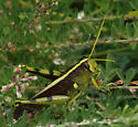 Large grasshopper with yellow stripe down his back - Schistocerca obscura