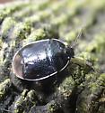 Sehirus cinctus