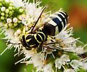 Sand wasp on mint blooms - Bicyrtes