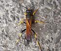 Digger wasp? - Sceliphron caementarium