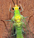 Nodita pavida - Leucochrysa pavida