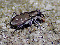 Shore Beetle - Cicindela duodecimguttata