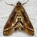 Floating-heart Waterlilly Moth - Parapoynx seminealis