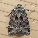 Noctuidae: Lacinipolia olivacea - Lacinipolia olivacea