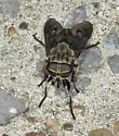 Horse Fly - Tabanus abdominalis - female