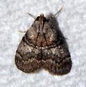 is this a Pococera maritimalis  - Pococera maritimalis