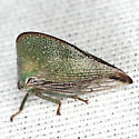 Treehopper - Archasia pallida