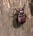 red beetle - Osmoderma subplanata