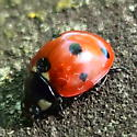 Coccinellidae: Coccinella septempunctata? - Coccinella septempunctata