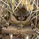 Beautiful Moth - Euclidia ardita