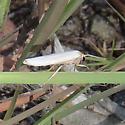 Crambidia sp. - Crambidia xanthocorpa