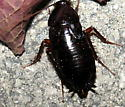 Blatta orientalis female? - Blatta orientalis - female
