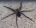 What is this? - Dolomedes scriptus