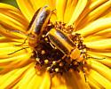 Beetles on yellow flower - Nemognatha