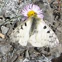 Papilionidae 7-13-11 02a - Parnassius smintheus - male