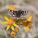 Mountain Checkered-Skipper - Pyrgus xanthus - male