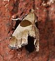 Moth to black light - Tosale oviplagalis