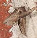 Moth to porch light - Paectes abrostoloides