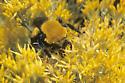 Morrison's Bumble Bee - Bombus morrisoni
