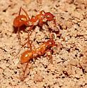 Ants - Formica pallidefulva